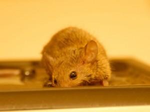 捕獲されたネズミ
